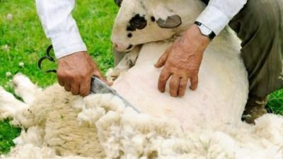 На Никиту также стригли овец, считая, что до наступления больших морозов они обрастут новой шубой