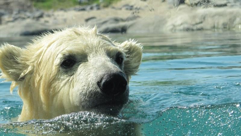 День белого полярного медведя отмечают 27 февраля